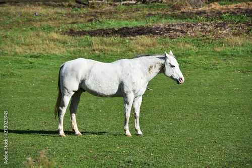 White Horse Standing