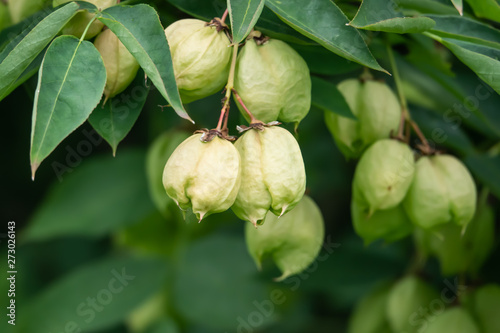 Photo  European Bladdernut Fruits in Springtime