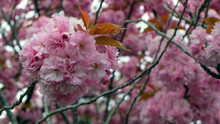 Double Cherry Blossom Branches...