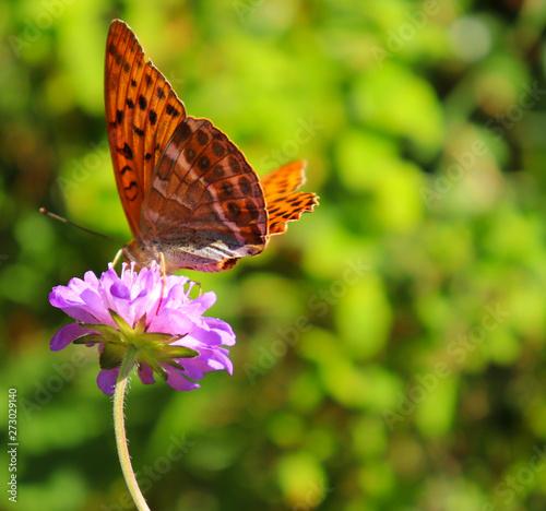 Butterfly on flower in Germany
