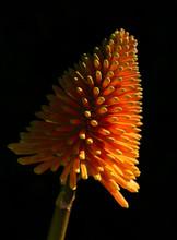Red Hot Poker Flower
