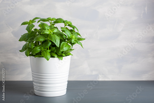 Carta da parati fresh basil herb in pot