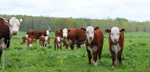 Hereford cows with newborn calves in the meadow Tableau sur Toile