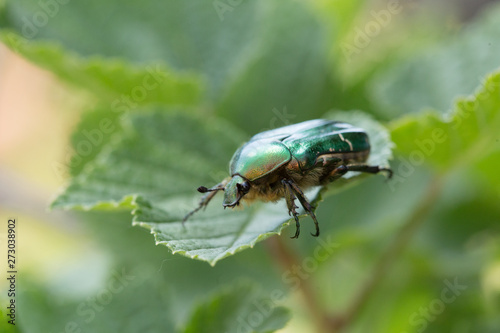 Valokuvatapetti Cetonia aurata, called the rose chafer or the green rose chafer