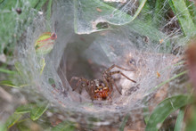 Funnel-web Spider, Agelena Labyrinthica, Waits In Its Tubular Retreat For Prey
