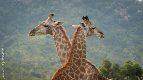 Photo  Giraffe Triangle