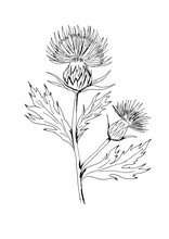 Milk Thistle With Flowers And...