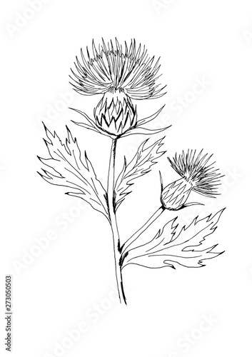 Milk thistle with flowers and leaves Fototapeta