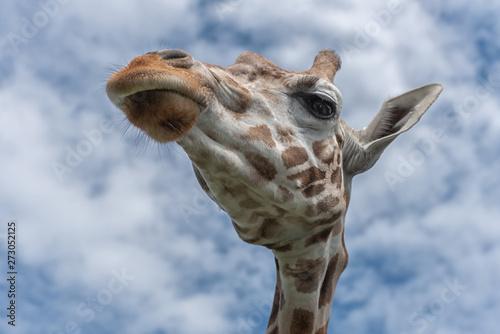 Photo  Northern giraffe, Giraffa camelopardalis, three-horned giraffe, the animal with the longest eyelashes against the blue sky