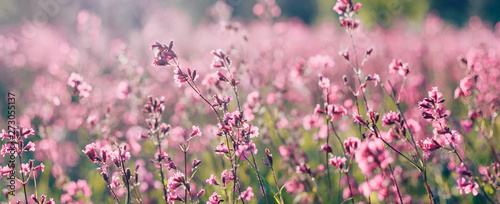 Photo sur Aluminium Lavande Natural summer landscape with pink flowers in the meadow at sunny day