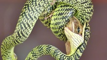 Snake Attack And Eating A Lizard Among Fighting And Struggling