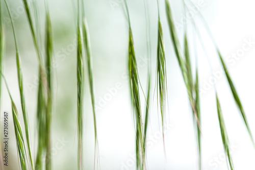 zdzblo-trawy