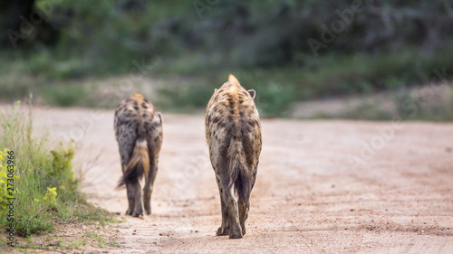 Garden Poster Hyena Two Spotted hyaenas walking rear view on safari road in Kruger National park, South Africa ; Specie Crocuta crocuta family of Hyaenidae