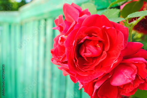 Red rose buds on wooden green background