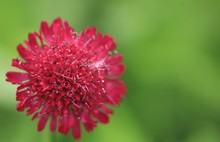 Pincushion Flower Red With Green Blurred Background
