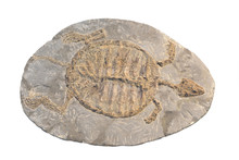 Fossil Of A Turtle Isolated On...