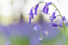 A Single Bluebell In A Beech Tree Forest