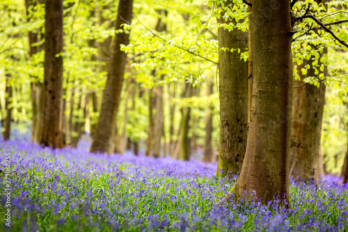 Poster Forets Bluebell carpet in a beech tree forest