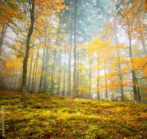 Fototapety, obrazy: Beautiful yellow orange colored autumn leaves in forest landscape.