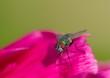 Leinwanddruck Bild - Fliege auf Blüte Nahaufnahme