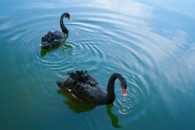 Two Black Swans Float In The Lake. Lovely Couple Of Black Swans