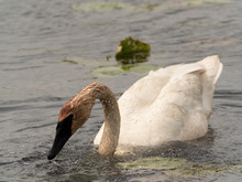 Trumpeter Swan Feeding In Pond