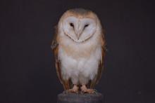 Owl On Black Background