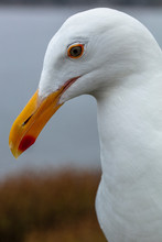 Closeup Portrait Of A White Seagull In A Coastal Area