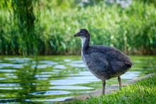 Young Eurasian Coot (Fulica At...