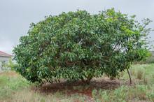 Litchi Chinensis Tree