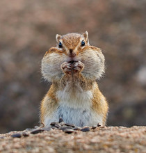 Pretty Chipmunk Sitting On A R...