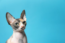 Cute Sphynx Cat On Color Backg...