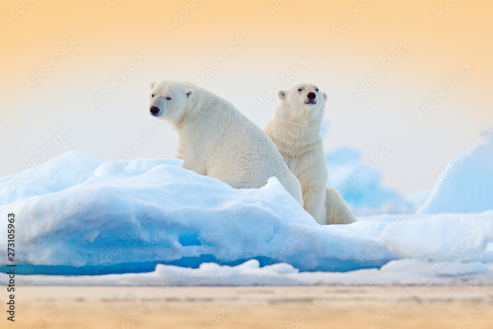 Fototapeta Dangerous bear sitting on the ice, beautiful blue sky. Polar bear on drift ice edge with snow and water in Norway sea. White animal in the nature habitat, Europe. Wildlife scene from nature.