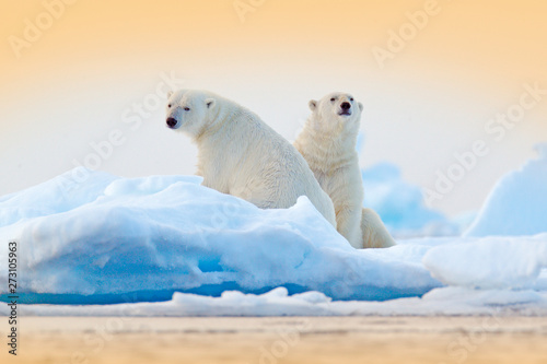 Photo sur Toile Ours Blanc Dangerous bear sitting on the ice, beautiful blue sky. Polar bear on drift ice edge with snow and water in Norway sea. White animal in the nature habitat, Europe. Wildlife scene from nature.