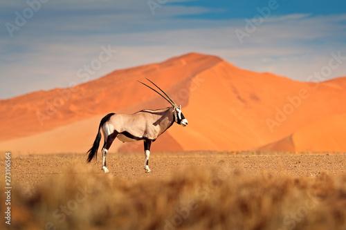 Spoed Fotobehang Antilope Gemsbok with orange sand dune evening sunset. Gemsbuck, Oryx gazella, large antelope in nature habitat, Sossusvlei, Namibia. Wild animals in the savannah. Animal with big straight antler horn.