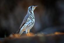 Groundscraper Thrush, Psophocichla Litsitsirupa, Black And White Bird In Sand Desert In Namibia, Dark Form Bird. Animal Behaviour In Africa. Wind In The Bird Plumage. Wildlife Scene From Nature