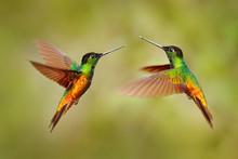 Bird Fight. Hummingbird Golden-bellied Starfrontlet, Coeligena Bonapartei, With Long Golden Tail, Beautiful Action Flight Scene With Open Wings, Clear Green Backgroud, Chicaque, Colombia. Two Birds.