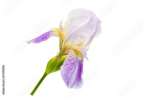 Poster Iris Purple iris with no background