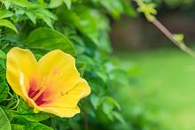 Yellow Hibiscus Blooming Flowe...