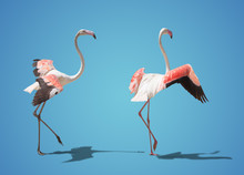 Beautiful Pink Flamingo Posing. On Blue Background