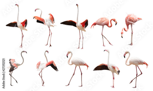 Photo sur Aluminium Flamingo a large set of flamingos isolated on a white background in various poses