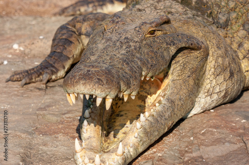 Photo reptile crocodile of the national park reserves and parks of south africa