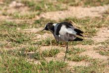 Blacksmith Plover Bird Of The ...
