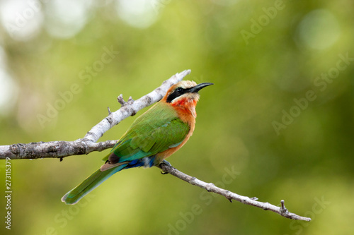 bee eater bird of the national park reserves and parks of south africa Wallpaper Mural