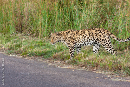 Photo leopard mammal of the kruger national park reserves and parks of south africa