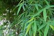 Green bamboo leaves , Green Bamboo