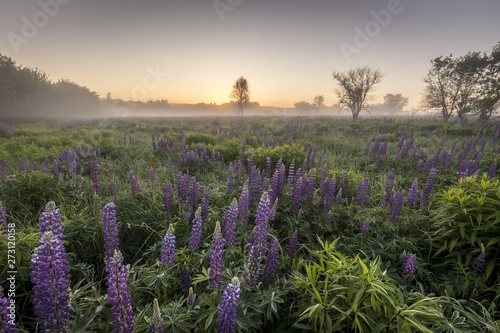 Poster Kaki Twilight on a field covered with flowering lupines in summer morning with fog.