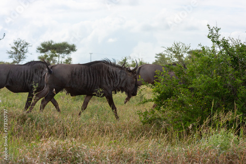 Photo wildbeest kruger national park reserves and parks of south africa