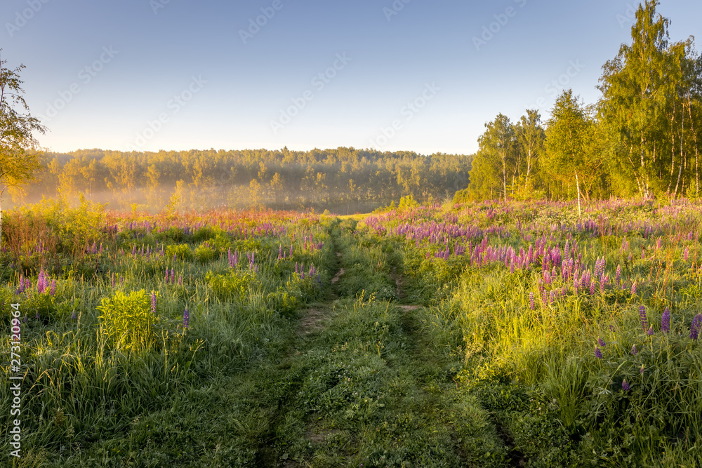 Fototapety, obrazy: Sunrise on a field covered with flowering lupines in summer morning with fog.