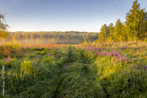 Sunrise on a field covered with flowering lupines in summer morning with fog.